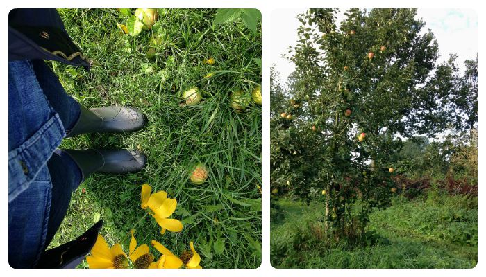 Apple tree historic garden Bijenakker